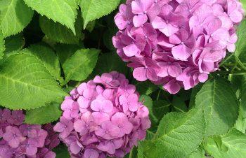 紫陽花な季節