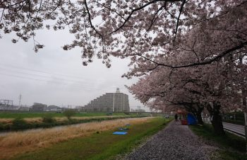 雨降る中に桜咲く