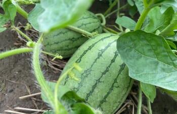 夏の風物詩 〜家庭菜園から季節を感じる〜